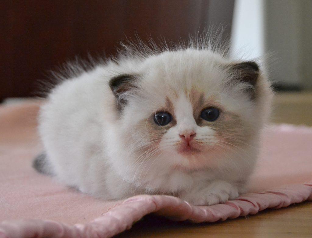 Dvärgväxt kattunge
